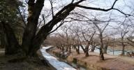 弘前公園 桜はまだ先・・・